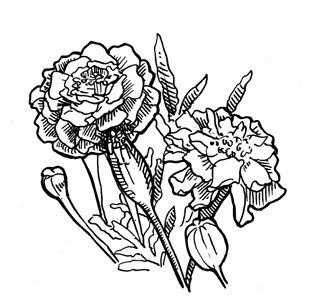 315x301 Marigold Line Drawing Line Drawings Flower Line Drawings