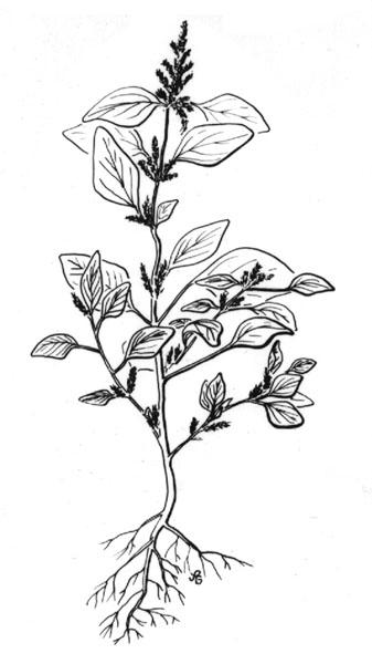337x600 Pigweed (Amaranthus Retroflexus)