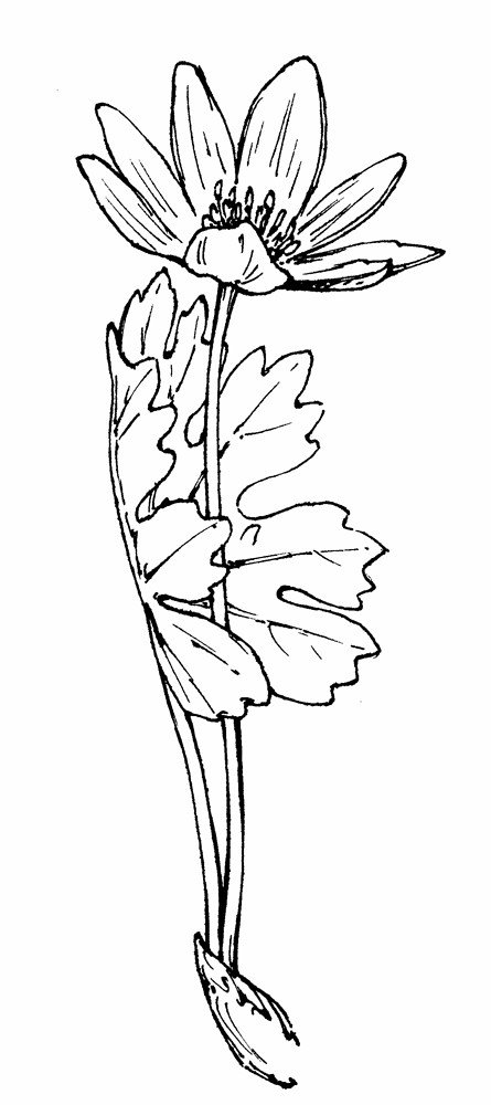 445x1000 Sanguinaria Canadensis (Blood Root) Go Botany