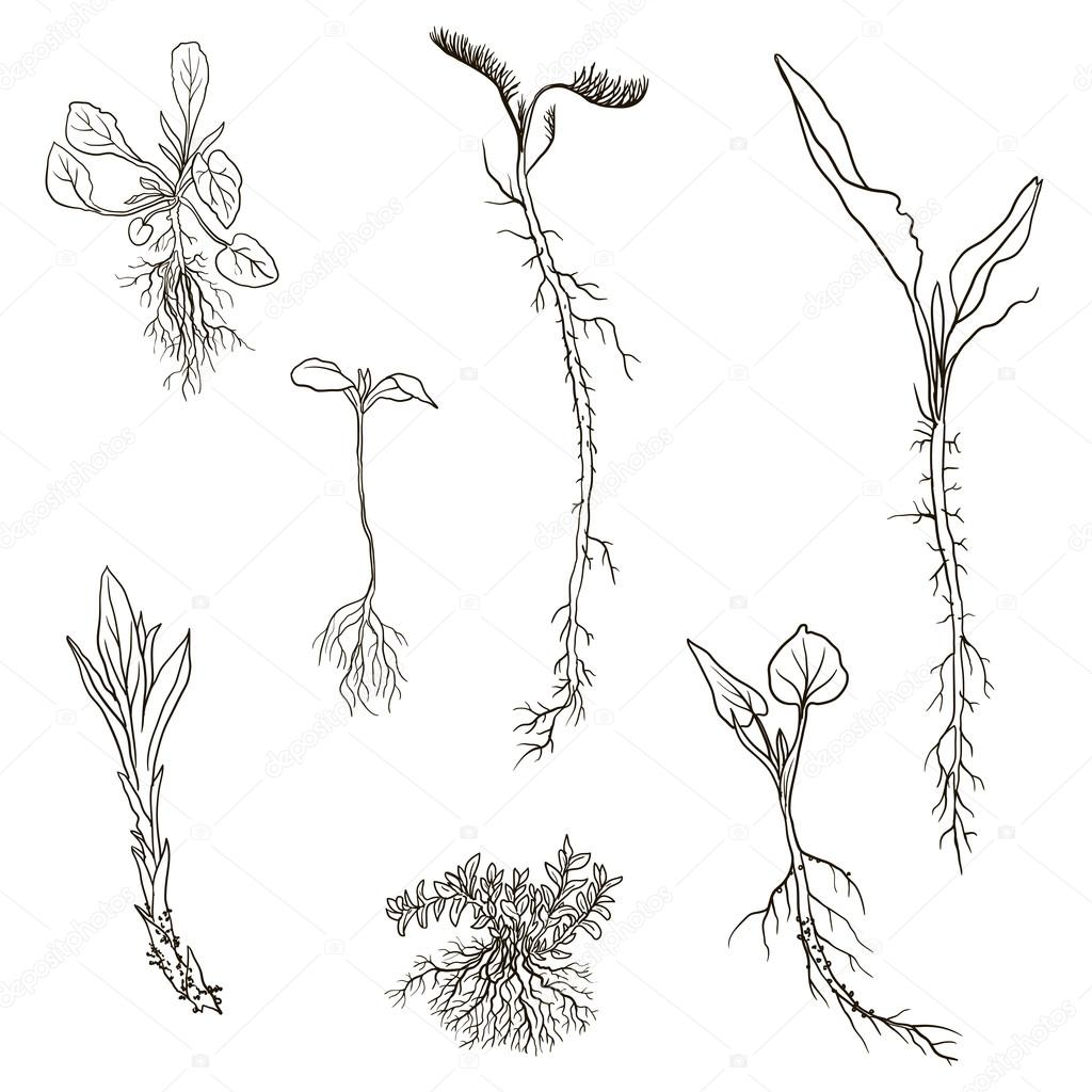 1024x1024 Set Of Line Drawing Herbs With Roots Stock Vector