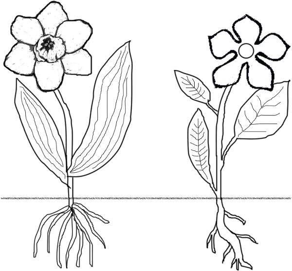 600x557 Flowersmonocots Versus Dicots