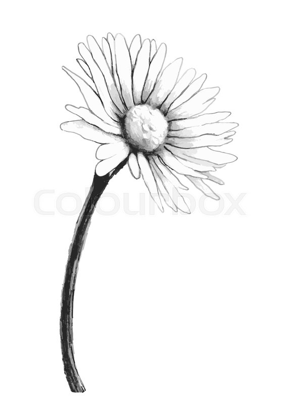 566x800 Chamomile Flower Sketch, Vector Hand Drawing. Black And White