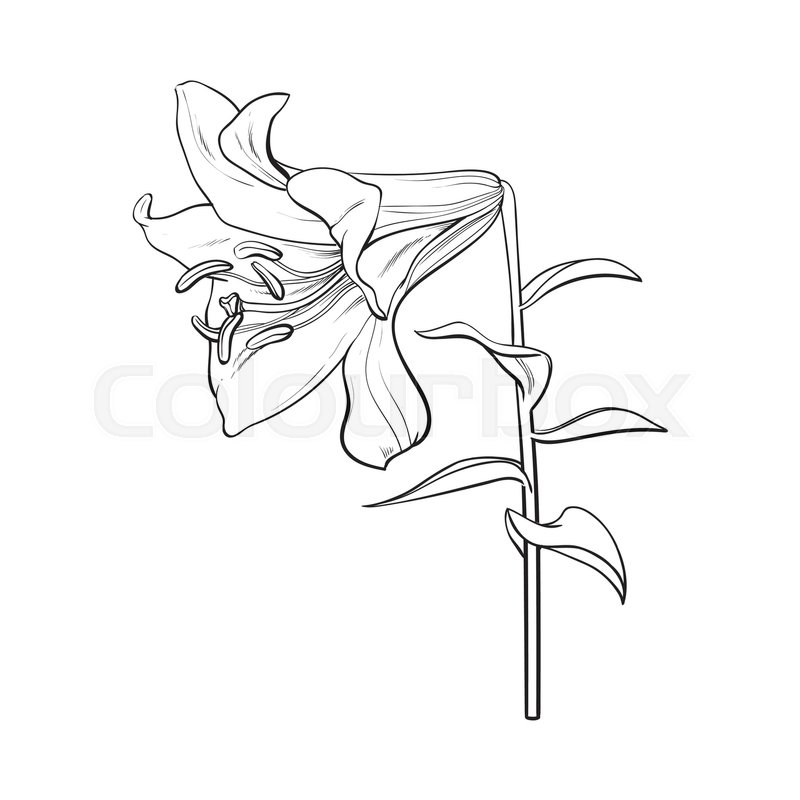 800x800 Single Hand Drawn White Lily Flower With Stem And Leaves, Side
