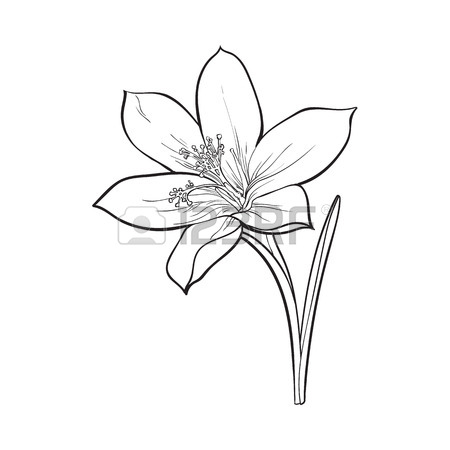 450x450 Delicate Single Crocus Spring Flower With Stem And Leaf, Sketch