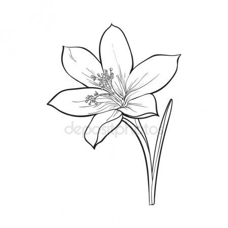 450x450 Delicate Single Crocus Spring Flower With Stem And Leaf Stock