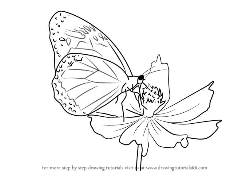 800x567 Learn How To Draw A Butterfly On Flower (Butterflies) Step By Step
