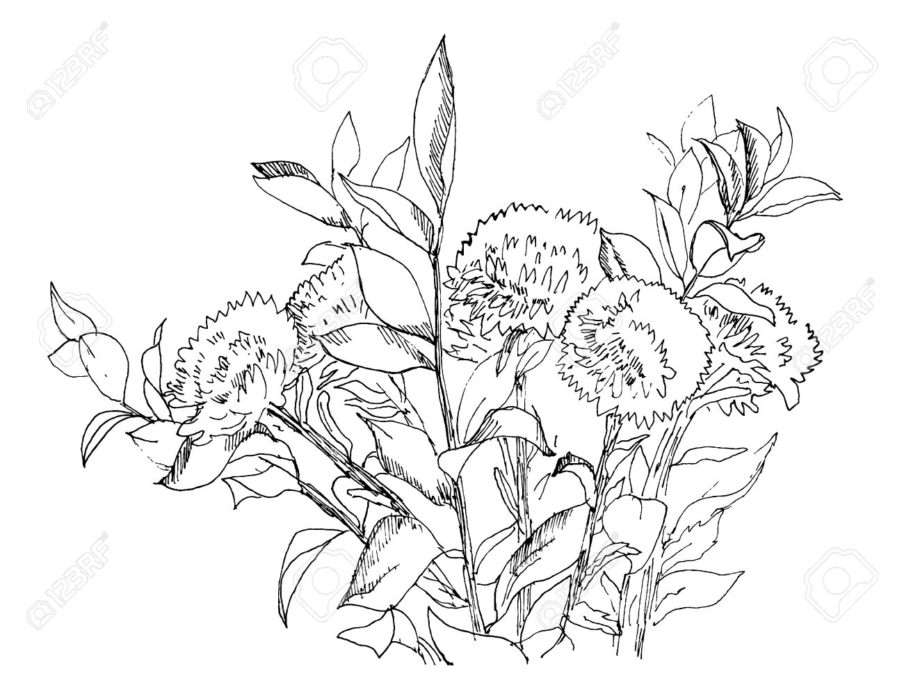 1300x975 Aster Flowers Bouquet Hand Drawn Ink Sketch, Vector Royalty Free