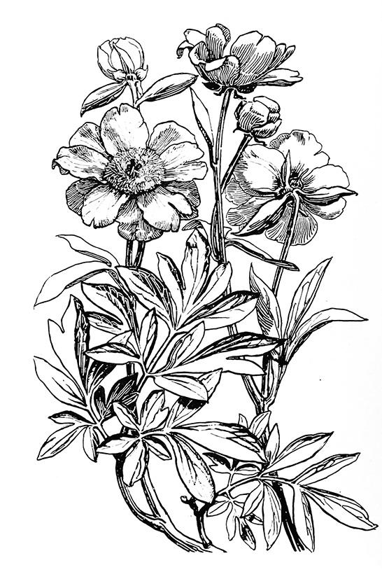 Black and white flower drawings selol ink black mightylinksfo