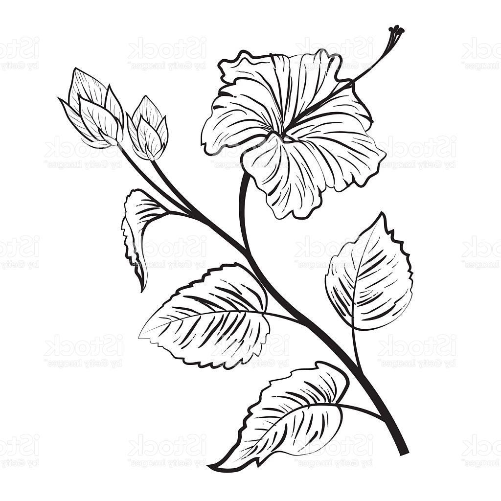 1024x1024 Hd Hibiscus Flower Drawings Vector Design Free Vector Art