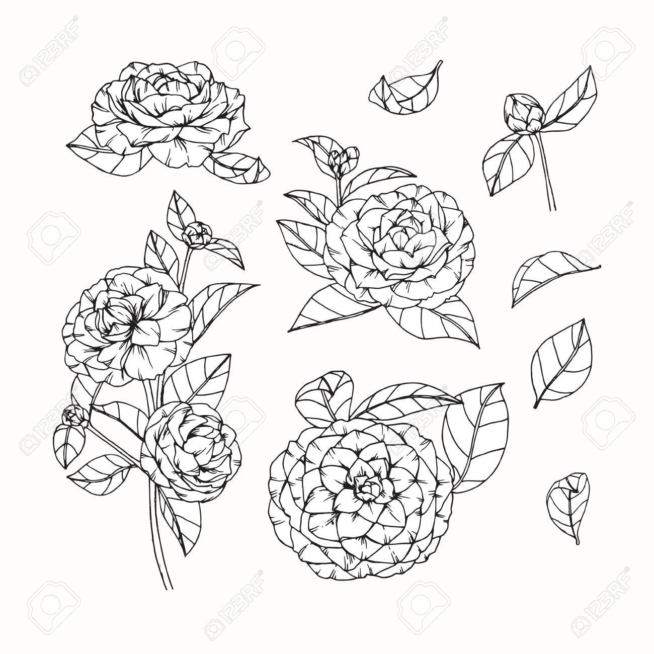 1300x1300 Camellia Flowers Drawing And Sketch With Line Art On White