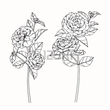 450x450 Peony Flowers Drawing And Sketch With Line Art On White