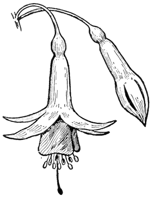 300x388 How To Draw Fuchsias Flowers With Easy Steps Drawing Tutorial
