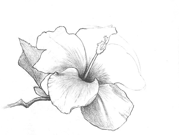592x446 pencil drawings art pencil drawings of flowers