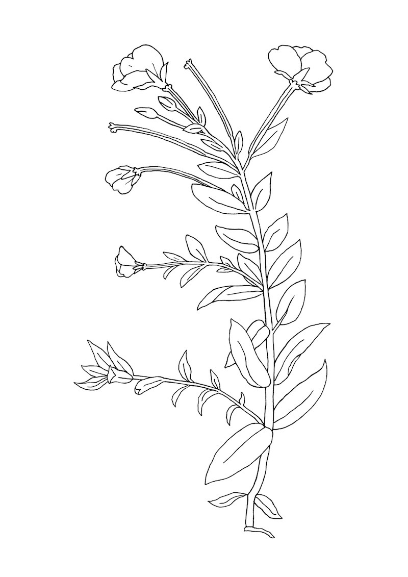 800x1131 Flower Line Drawing Tumblr Images
