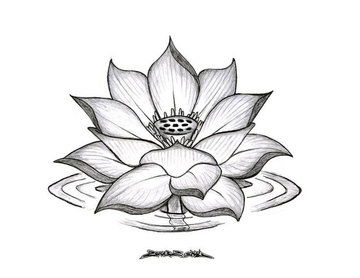736x568 Pictures Lotus Beautiful Drawing,