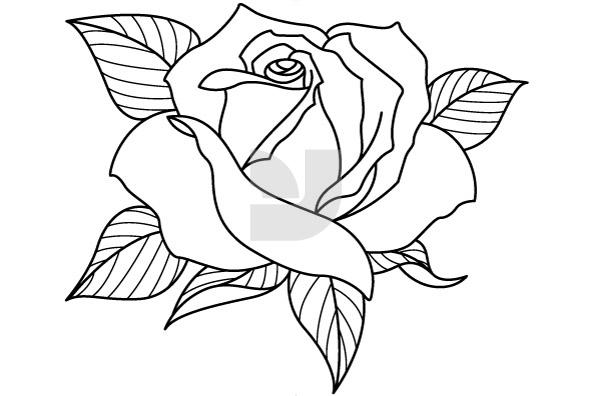 592x396 Rose Flower Drawing Sketch