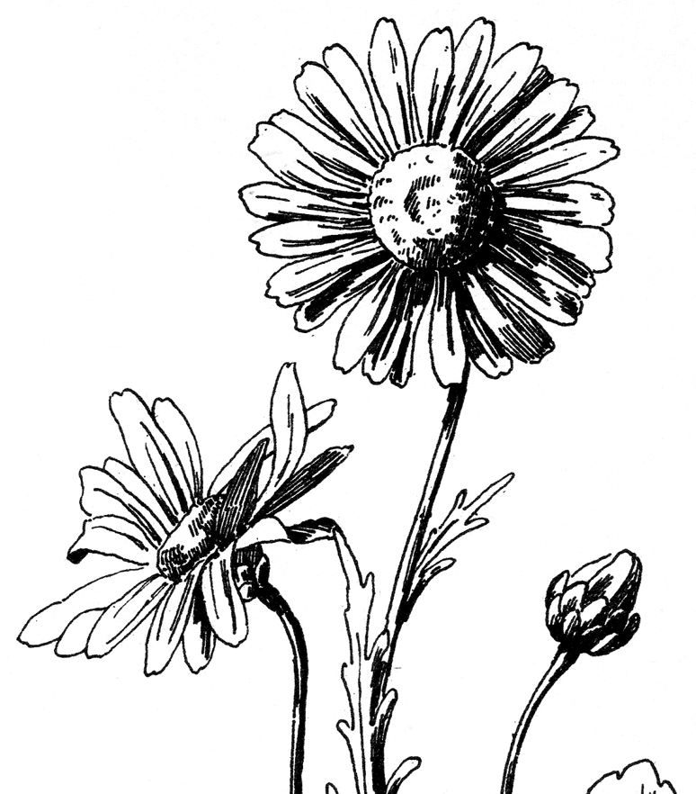 774x882 Free Daisy Drawing