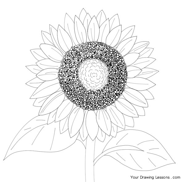 600x591 How To Draw A Sunflower Your Drawing Lessons