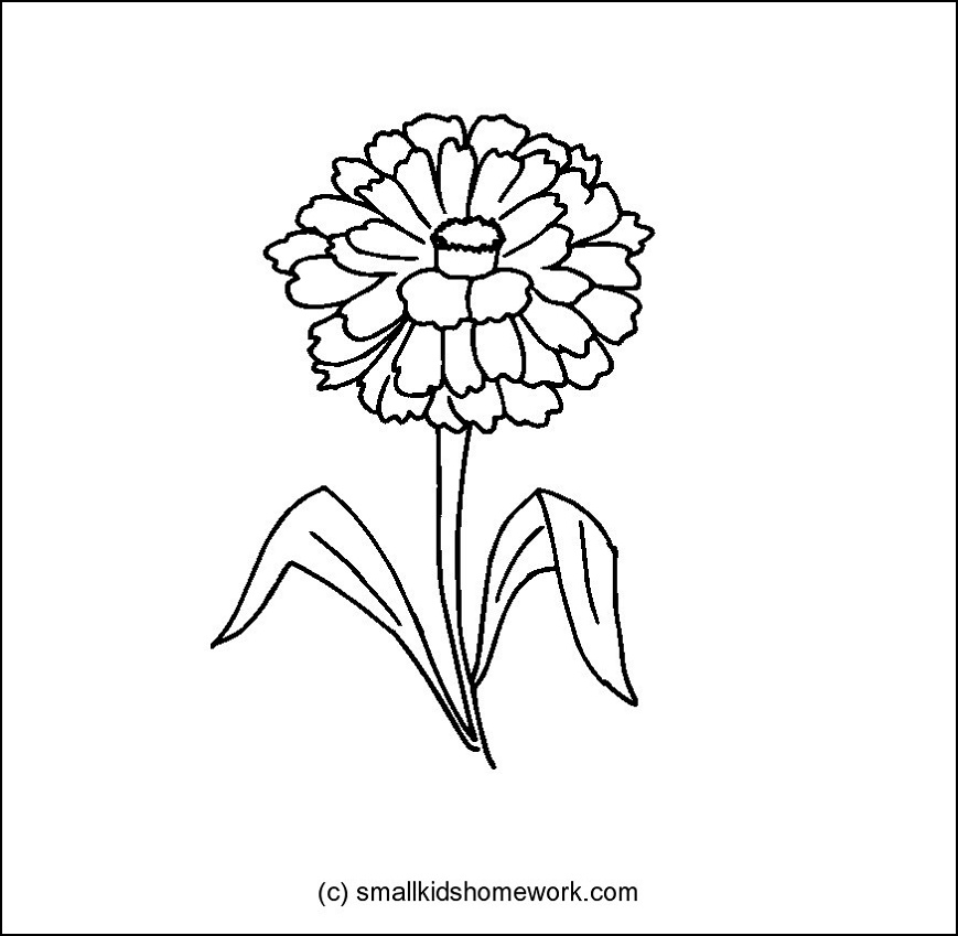 869x849 Zinnia Flower Outline And Coloring Picture