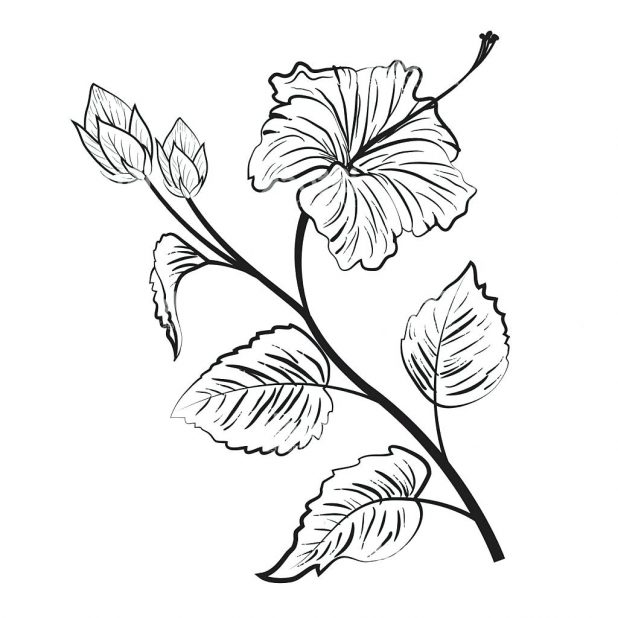 618x618 Coloring Extraordinary Hibiscus Flower Outline. Hibiscus Flower