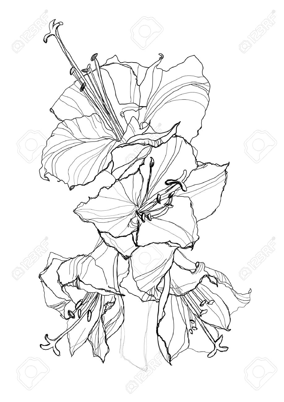 918x1300 Hibiscus Flower Pencil Drawing On White Background Royalty Free