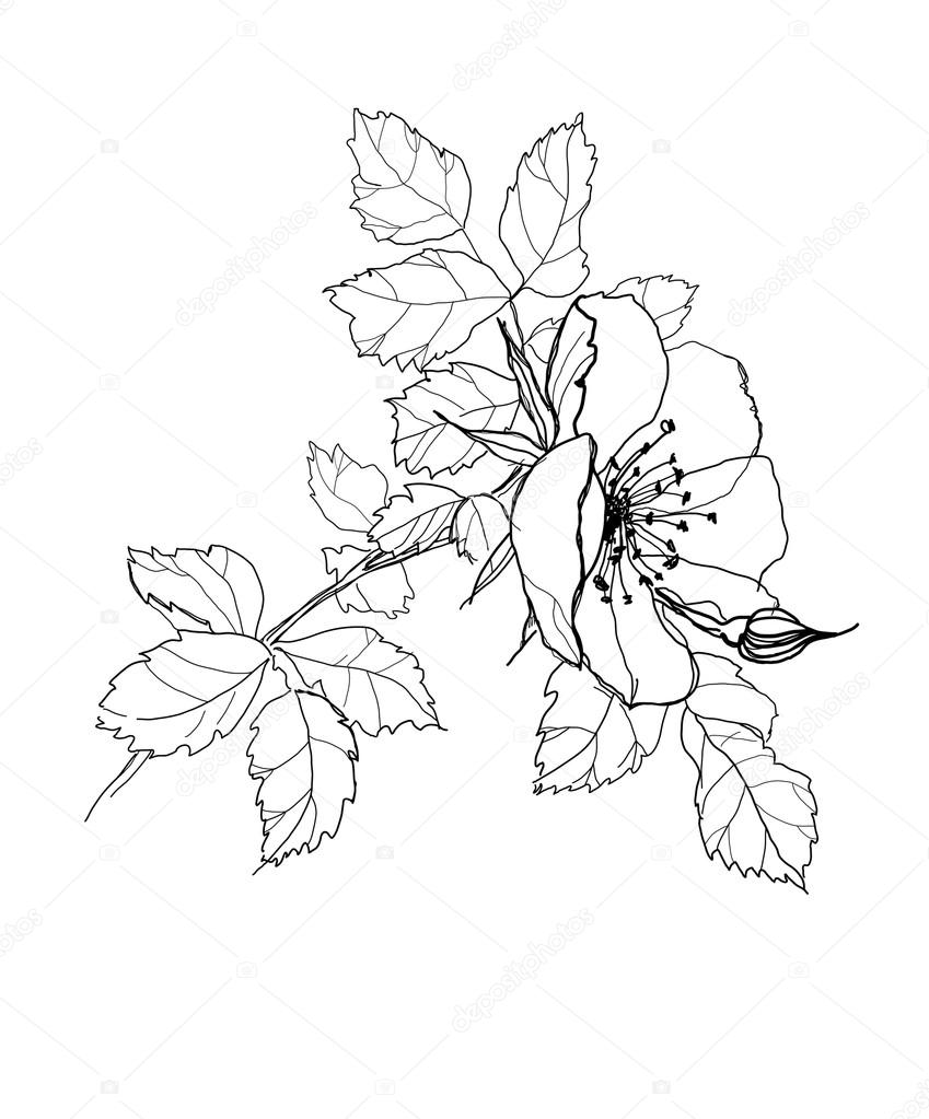849x1023 Rose Flower Pencil Drawing Stock Vector Vergasova