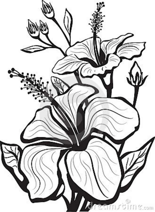 658x900 Hibiscus Flower Drawings