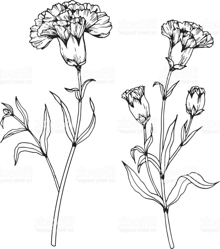 906x1024 Best 15 Carnation Flowers Drawing And Sketch With Lineart On White