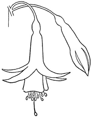 300x387 How To Draw Fuchsias Flowers With Easy Steps Drawing Tutorial