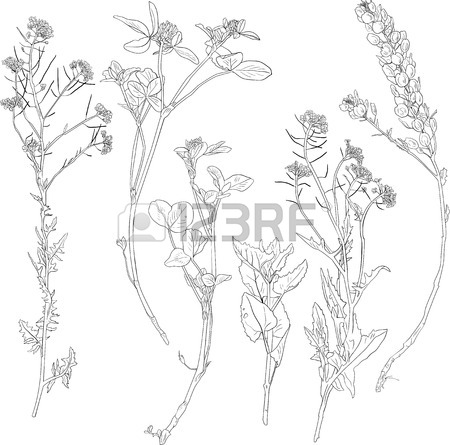 450x445 Set Of Line Drawing Herbs, Wild Flowers, Hand Drawn Vector