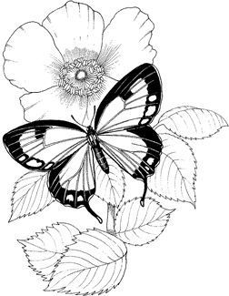 252x325 Butterflies And Flowers Drawings