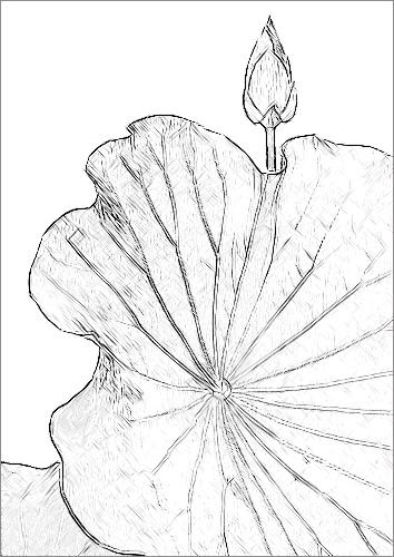 354x500 Lotus Flower Sketch