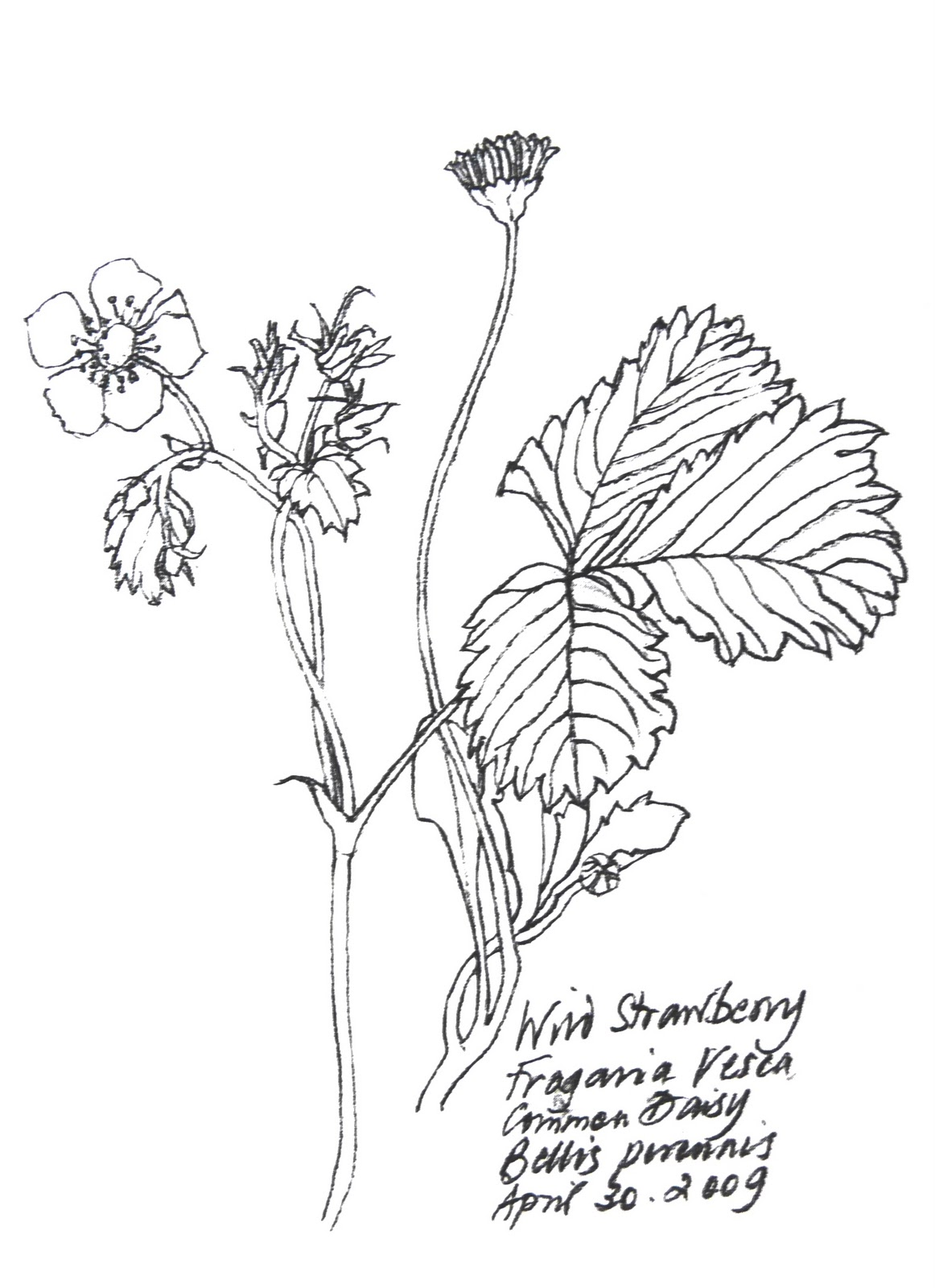 1162x1600 Tolpuddle Martyr Wild Flowers Picked In French Hedgerows, Pencil