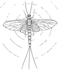 236x284 Here Is A Drawing Of A Local Insect Done In Graphite The Mayfly