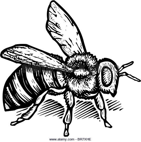 536x540 Drawing Of A Bee Stock Photos Amp Drawing Of A Bee Stock Images