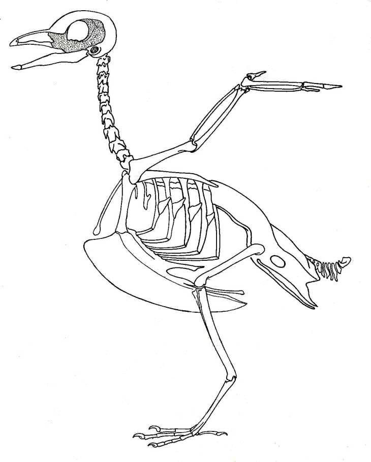 730x907 Biological Drawings. Bird Skeleton. Birds. Structure Amp Function