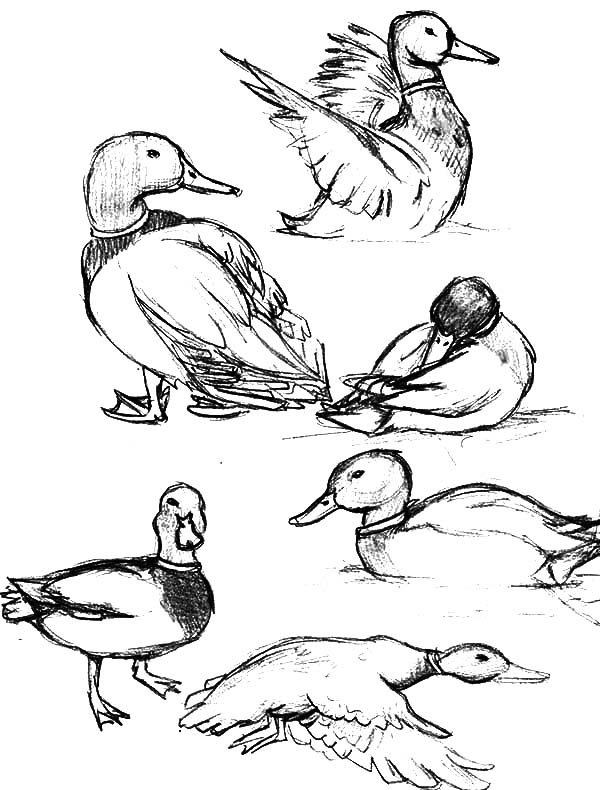 600x790 How To Draw Mallard Duck Coloring Pages Color Luna