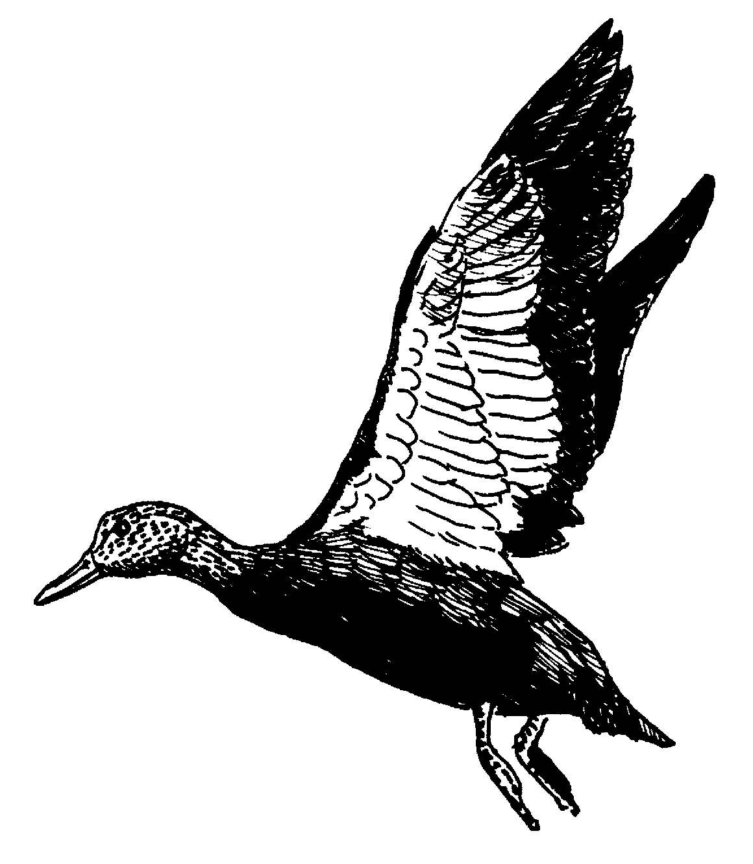 1160x1332 Flying Duck Illustration