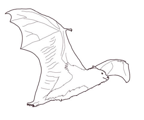 480x400 Fruit Bat Coloring Page Free Printable Coloring Pages
