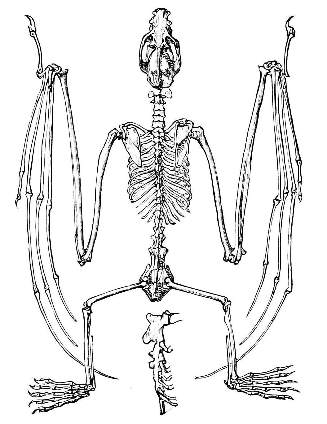1055x1369 Vintage Ephemera Illustration, Skeleton Of A Flying Fox(Bat), 1876