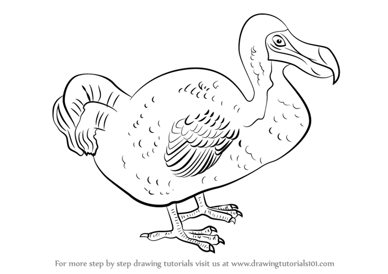800x565 Learn How To Draw A Dodo (Birds) Step By Step Drawing Tutorials