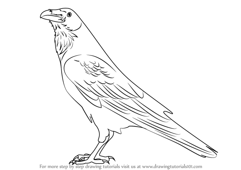 800x566 Learn How To Draw A Raven (Birds) Step By Step Drawing Tutorials