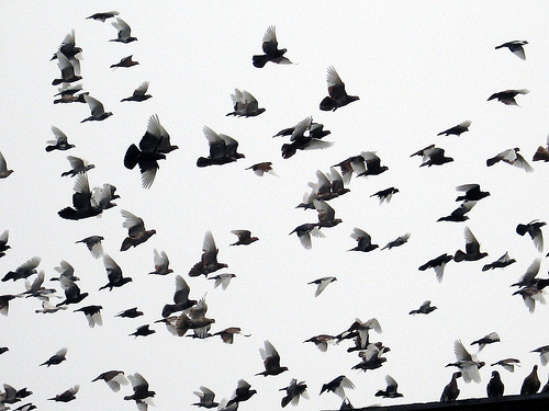 500x375 Ravens Flying In A Flock Pics