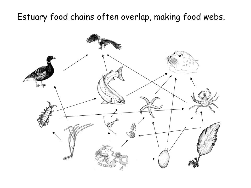 960x720 Food Web Of The Estuary How Do Plants And Animals Of The Estuary