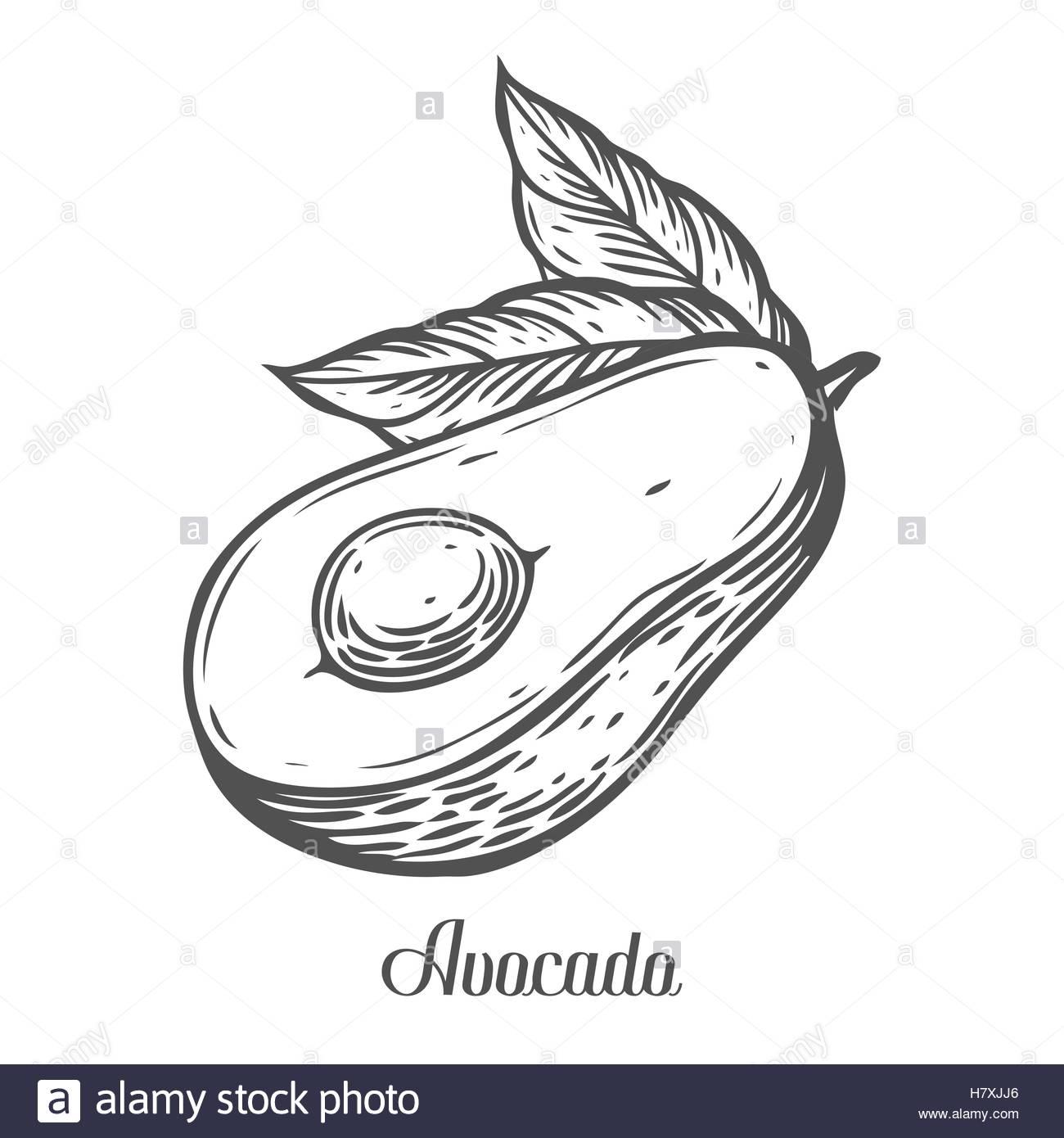 1300x1390 Avocado slice Vector hand drawn vector illustration. Tropical