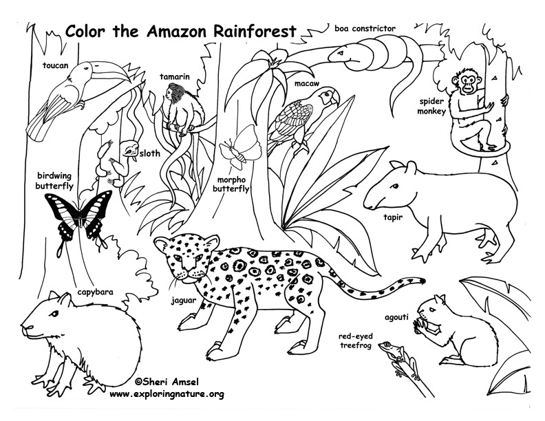 Attractive ... Animal Coloring Pages For. 792x612 An Amazon Rainforest