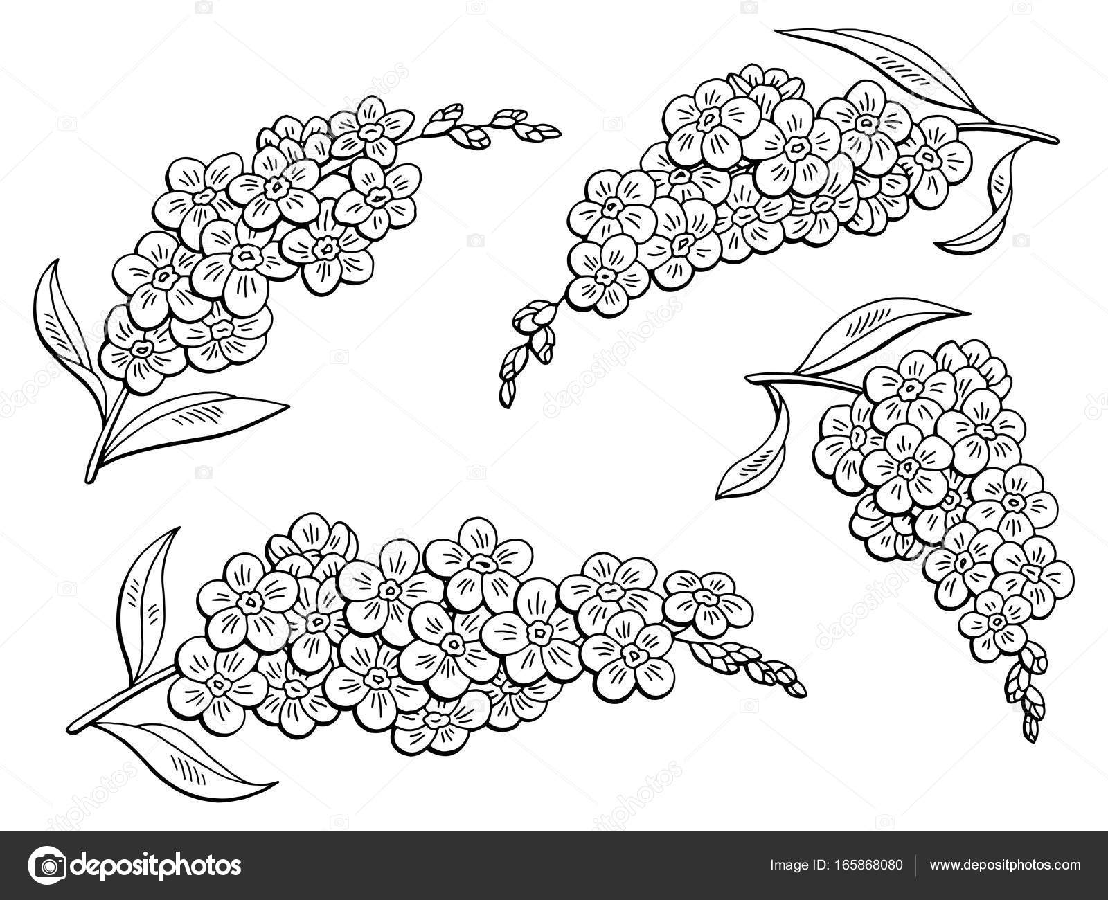 1600x1300 Forget Me Not Flower Graphic Black White Isolated Sketch