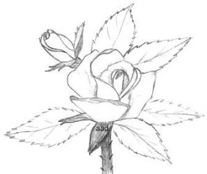 298x250 Drawings Of Roses In Pencil