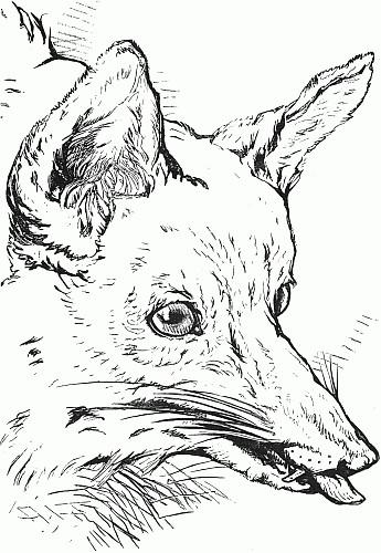 345x500 Fox Drawing