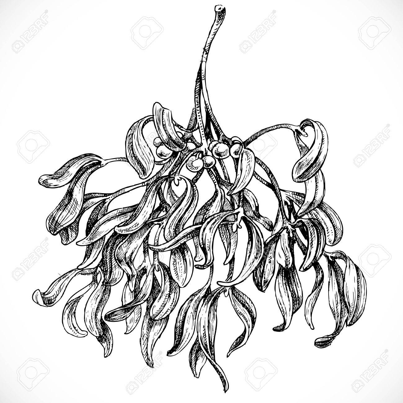 1300x1300 Black And White Graphic Drawing Of Mistletoe Royalty Free Cliparts